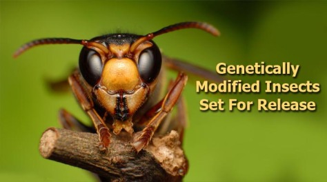Genetically-Modified-Insects-Set-For-Release