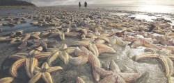massive-starfish-die-off
