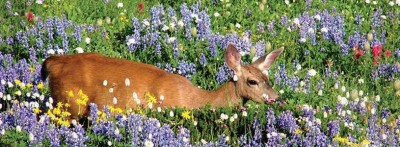 p33-deer-in-meadow-815x300