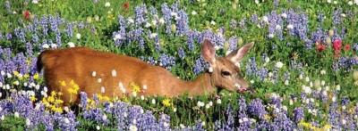 p33-deer-in-meadow-815x300