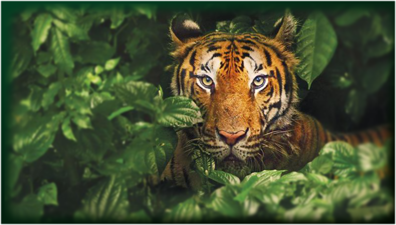 The Sundarbans are home to the the largest reserves for the Bengal Tiger