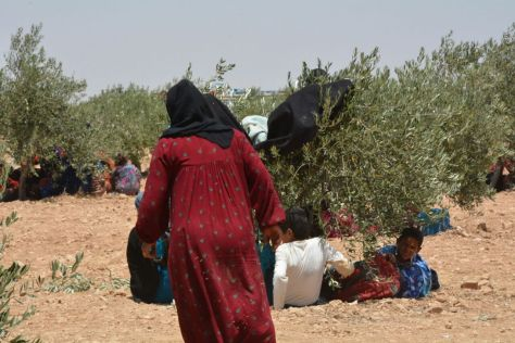 Manbij refugees shelter under bushes from the fierce heat