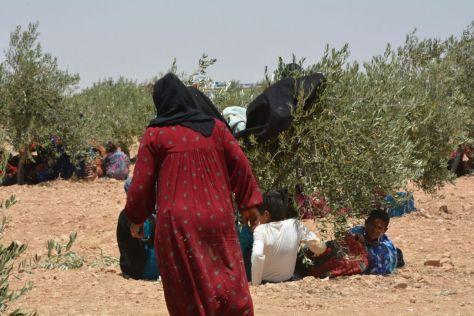 Manbij refugees shelter under bushes from the fierce heat