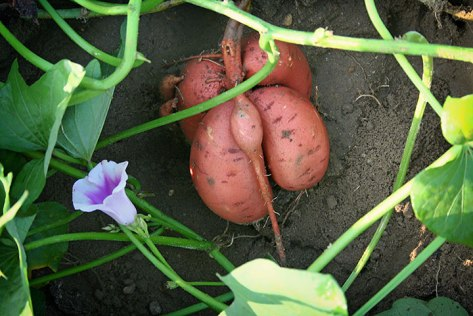 sweet-potatoes-vine-and-flower-NCSPC