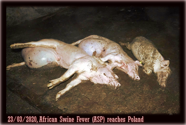 The animal industry only produces victims —African swine fever (ASP) inPoland.